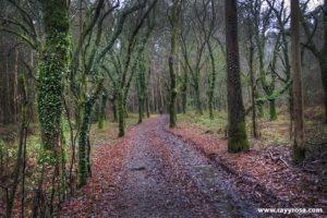 Carballos y eucaliptos entre Pedrouzo y Amenal